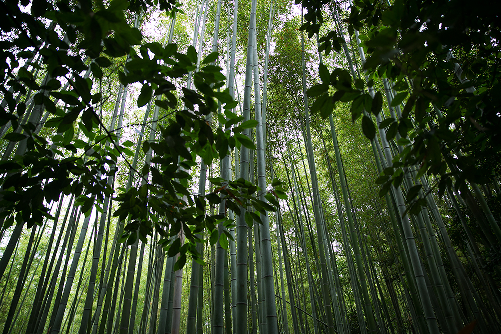 Visiting the bamboo forest in historic city of Kyoto, Japan.