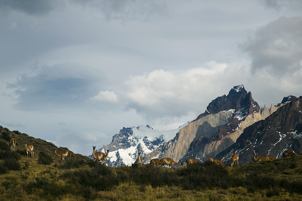 Guanacos along a ridge in Torres del Paine, Chile.