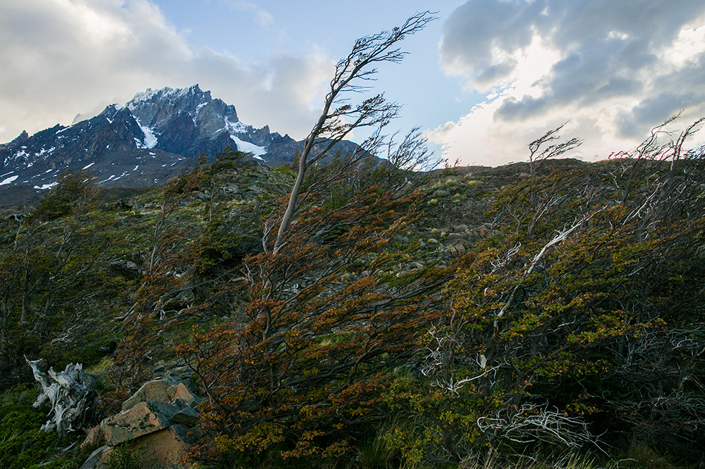 Wind-swept trees along the trail in Torres del Paine, Chile.