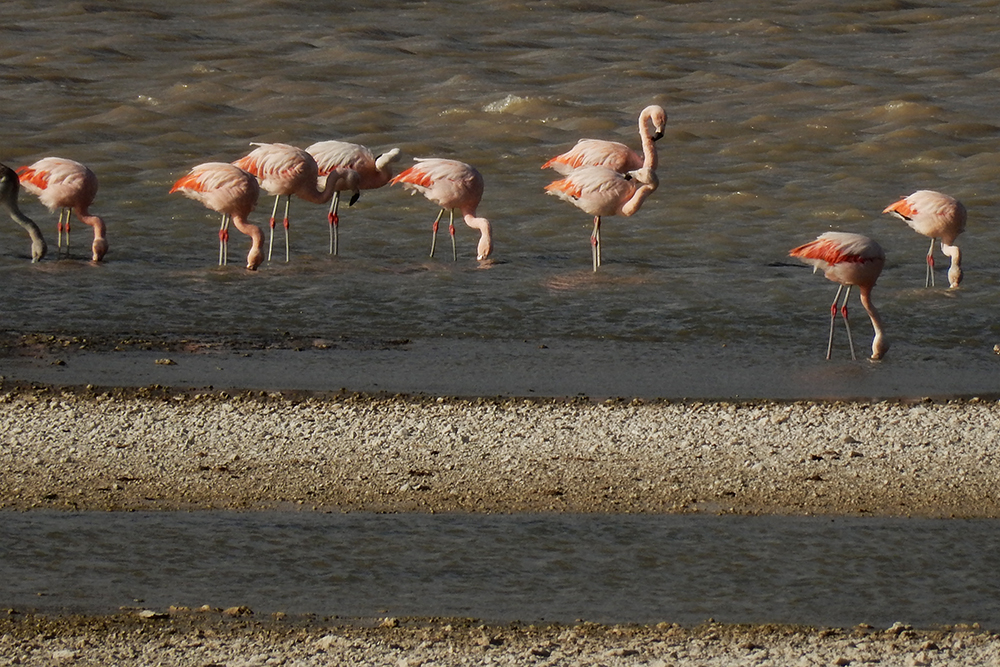 Flamingoes on Tierra del Fuego, Chile.