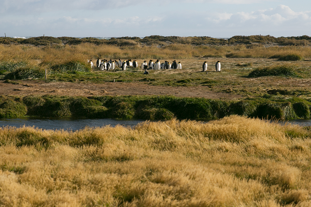 Los pinguinos! The king penguins we came to see on Tierra del Fuego, Chile. . Unfortunately we couldn't get much closer, but good thing Britnee had such a strong zoom lens!