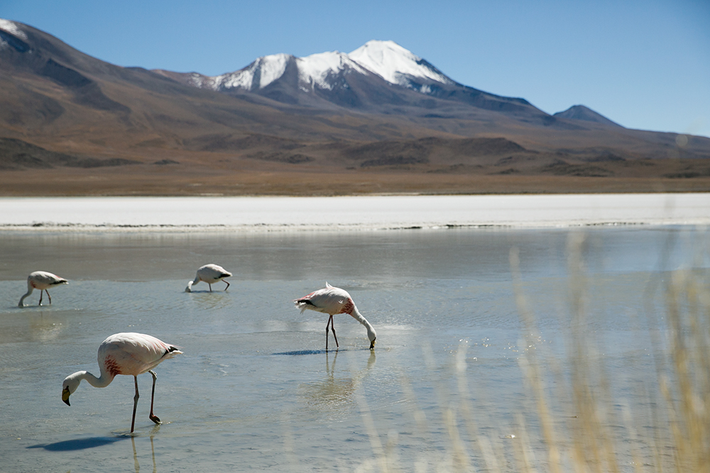 Flamingos feed in a lagoon along the way to Uyuni, Bolivia.