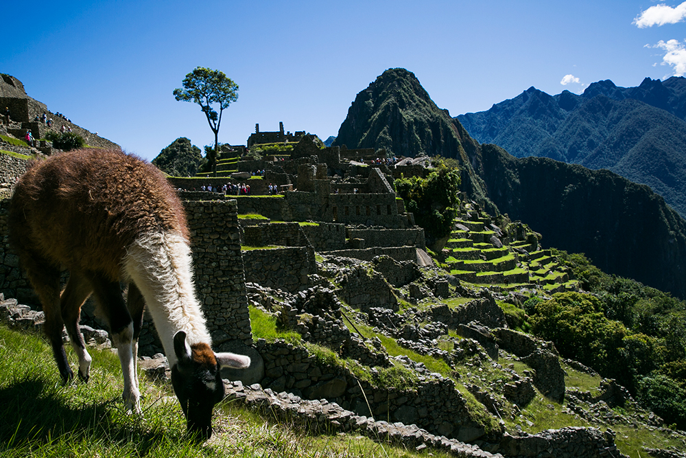 A llama grazes on a terrace among the ruins of Machu Picchu in Peru.