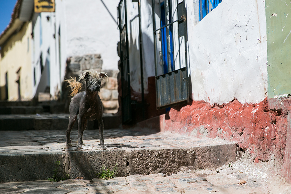 A Peruvian Hairless Dog we met while exploring the steep streets of Cusco, Peru.