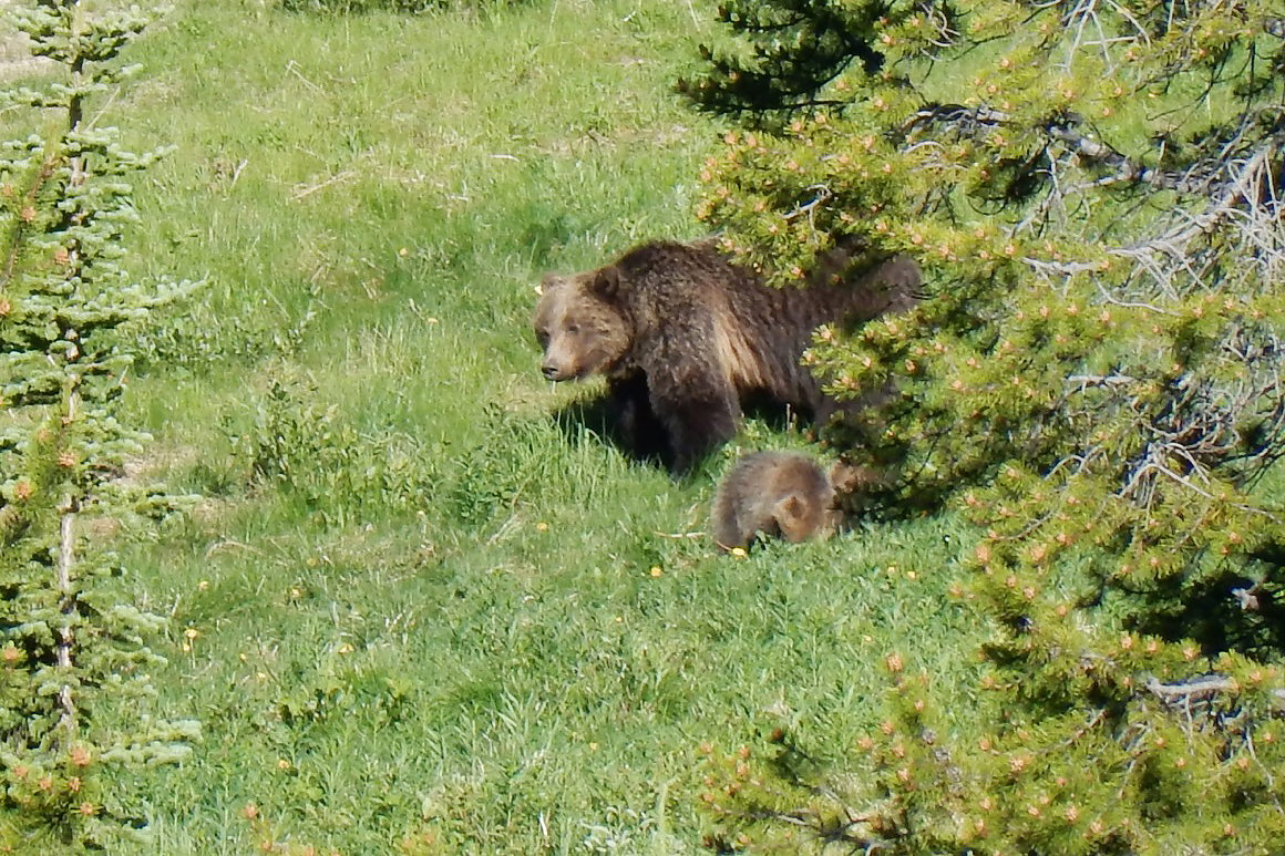 A mama grizzly bear and her two cubs, which we observed from the top of the Lake Louise Ski Resort.