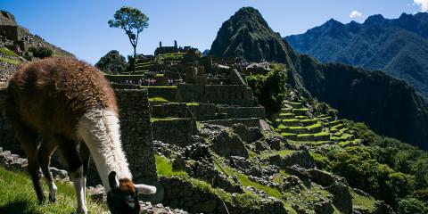A llama grazes on a terrace among the ruins of Machu Picchu in Peru.